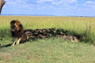 pride of male lion resting at the masai mara national park