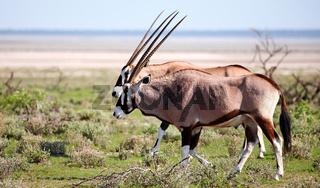 Oryxantilopen, Etosha National Park, Namibia, Oryx gazella, Gemsbok, Namibia