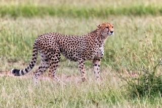 a beautiful cheetah hunting at the masai mara national park