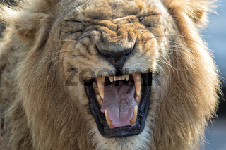 lion screaming at kruger national park
