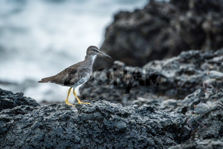 Juvenile willet walking on rocks beside sea