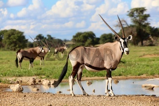 oryxes under ata waterhole in kgalagadi transfrontier park south africa