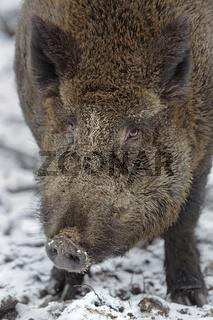 Wildschweine (Sus scrofa), im Schnee, Schleswig Holstein, Deutschland, Europa