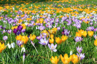 Colorful crocus on a meadow in spring