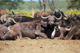 herd of buffaloes at nakuru national park