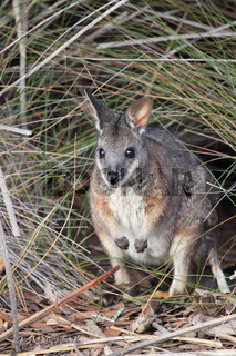 Derbywallaby (Macropus eugenii)