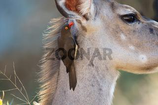 redbilled oxpecker & impala