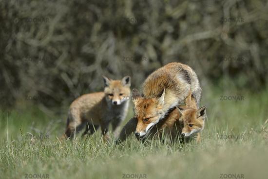 Fuchsfamilie... Rotfuchs *Vulpes vulpes*