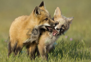 Fox Kits at Play