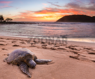 Sea Turtle at Moloa'a Beach, Kauai, Hawaii