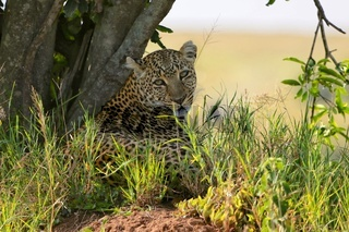 a leopard at the masai mara national park kenya