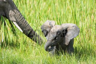 Afrikanischer Elefant,elephant,Loxodonta africana,