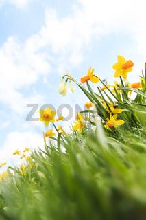 Gelbe Osterglocken