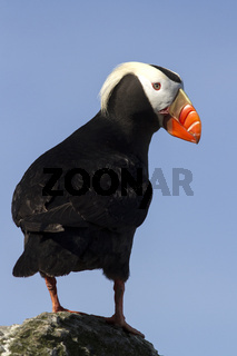 tufted puffin  that stands on a rock by turning his head to the side