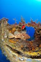 Scorpaena scrofa, Grosser Roter Drachenkopf oder Grosse, Meersau,  Bigscale Red Scorpionfish, Gozo, Malta