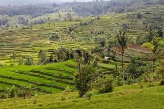 beautiful rice paddies at bali indonesia