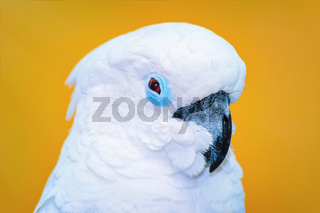 The Cockatoo Parrot