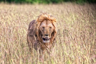 beautiful lion at the masai mara national park kenya