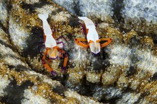 Paar Imperator-Garnelen, Indonesien