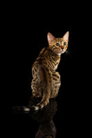 Bengal Kitty Sits and Turned back on Black