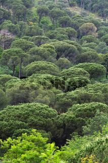 Pinien Urwald Baumkronen hoch
