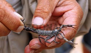 Giftiger schwarzer Skorpion, Namibia, poisonous scorpion, Namibia