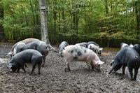 Hutewald Schweine