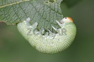Grosse Pelzblattwespe ( Larve )Trichiosoma lucorum