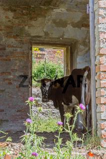 Kuh im Haus