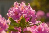 purple flower Rhododendron