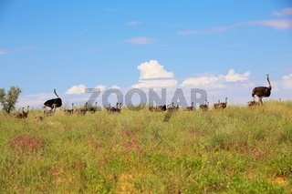 ostrich babies at kgalagadi transfrontier national park