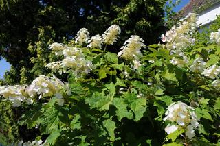 Hydrangea quercifolia, Eichenblättrige Hortensie
