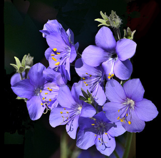 Griechisch Baldrian (Polemonium caeruleum)