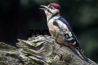 Buntspecht die Jungvoegel verlassen nach gut 4 Wochen die Bruthoehle - (Foto fluegger Jungvogel) / Great Spotted Woodpecker the nest hole is not used again - (Photo juvenile bird) / Dendrocopus major - (Picoides major)