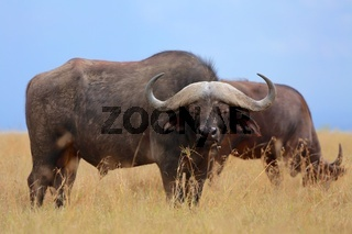 buffaloes at the masai mara national park