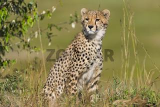 Cheetah,Gepard,acinonyx jubatus,cub,
