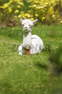 Baby llama lying on grass after feeding