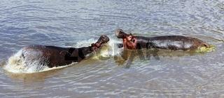 an hippo's fight at the masai mara national park kenya africa