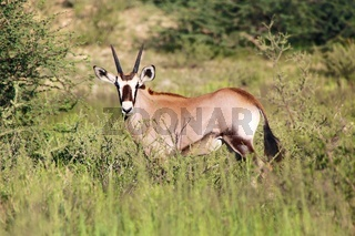 oryx calf in the bush at kgalagadi transfrontier park south africa