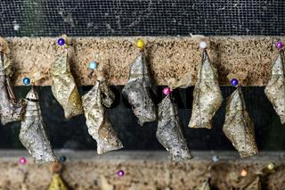 Schmetterlingspuppen (Chrysalises) eines Bananenfalters (Caligo sp.) vor dem Schlüpfen, Ecuador