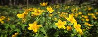 Butterblume  Ranunculus acris