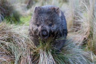Wombat in grassland