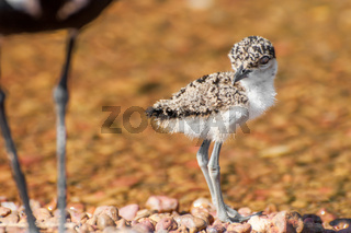 Lapwing Chick at Lake