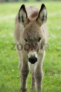 Junger, neugieriger Esel