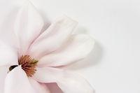 Magnolienblüte auf Papier