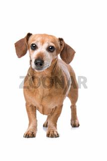 dachshund looking at camera