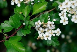 Weißdornzweig mit Blüten, Blättern