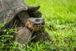Close-up of Galapagos giant tortoise chewing grass