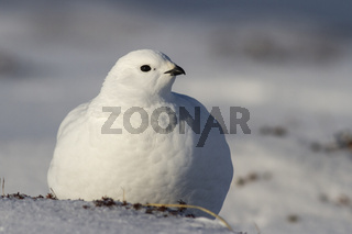 Rock Ptarmigan female is sitting on the snow
