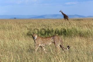 cheetah hunting at masai mara national park kenya
